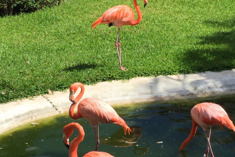 Flamants roses, Cozume, Mexique